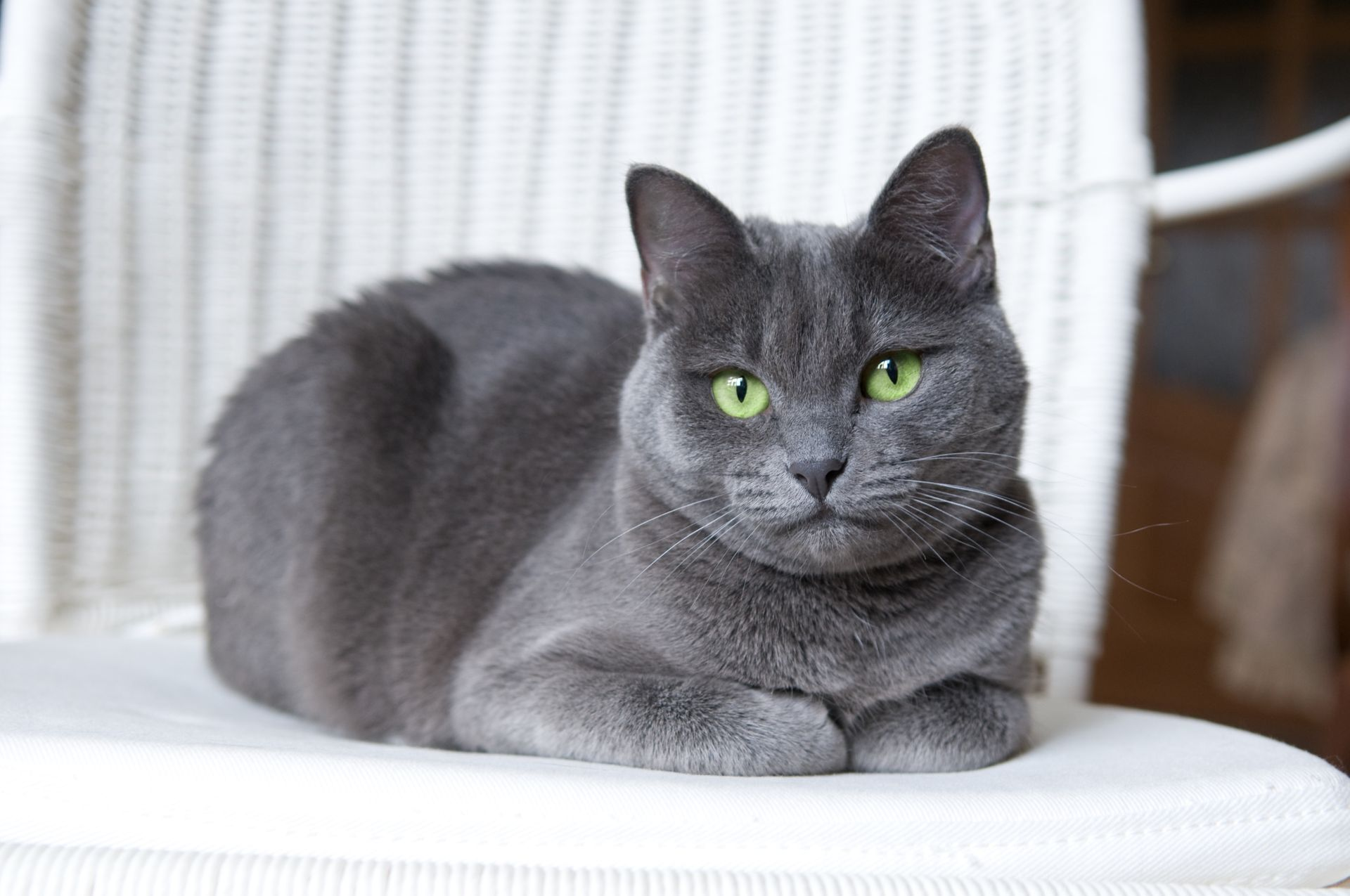 All About The Russian Blue Personality