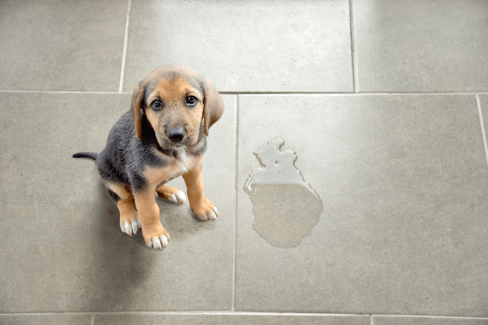 A sheepish puppy sits next to a urine stain on a tiled floor.