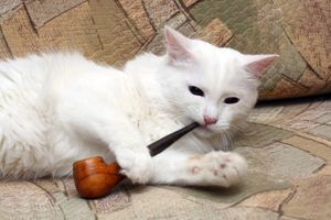 nicotine toxicity in cats