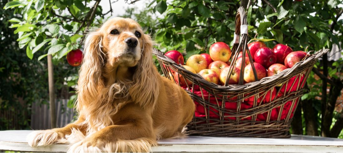 A dog sits near a basket of apples.