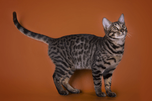 A gray, spotted cat against a dark orange background.
