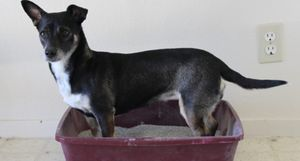 A black dog stands in a litter box.
