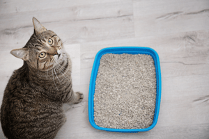 A grey cat stands outside a blue litter box and looks up at the camera.