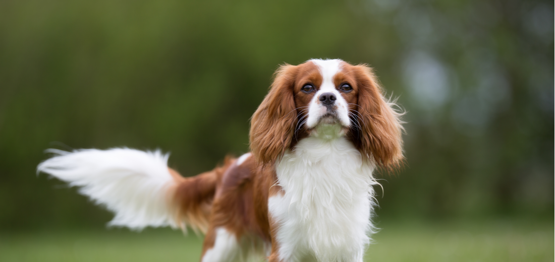 A white and red Cavalier King Charles Spaniel wags its tail/