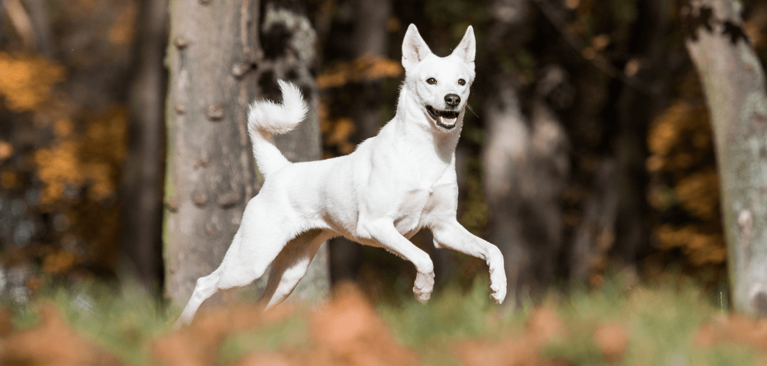 How to Choose a Canaan Dog
