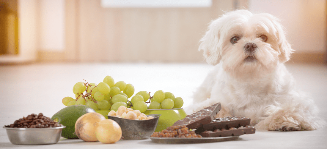 A dog looking at chocolate, grapes, and other items they can't eat.