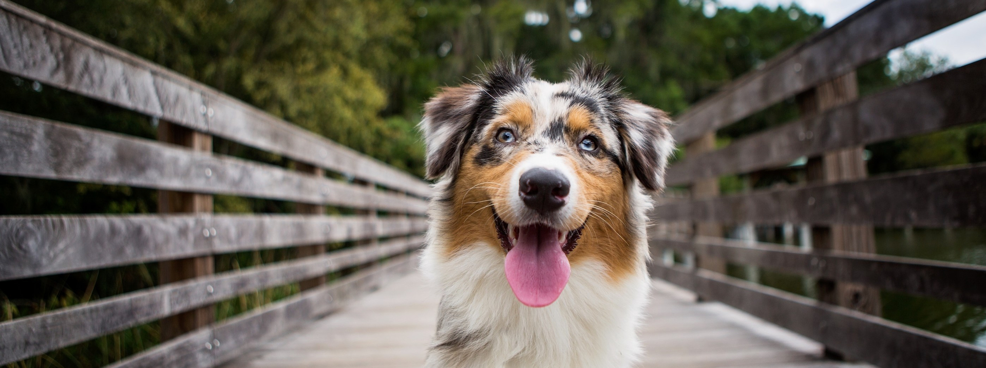 Breed history and appearance of the Australian Shepherd.