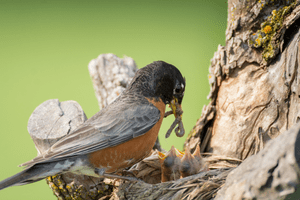An adult robin prepares to feed a worm to several babies.