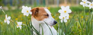 Jack Russell Terrier has an allergic reaction to flowers.