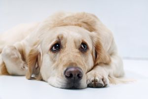 acute cystitis in dogs