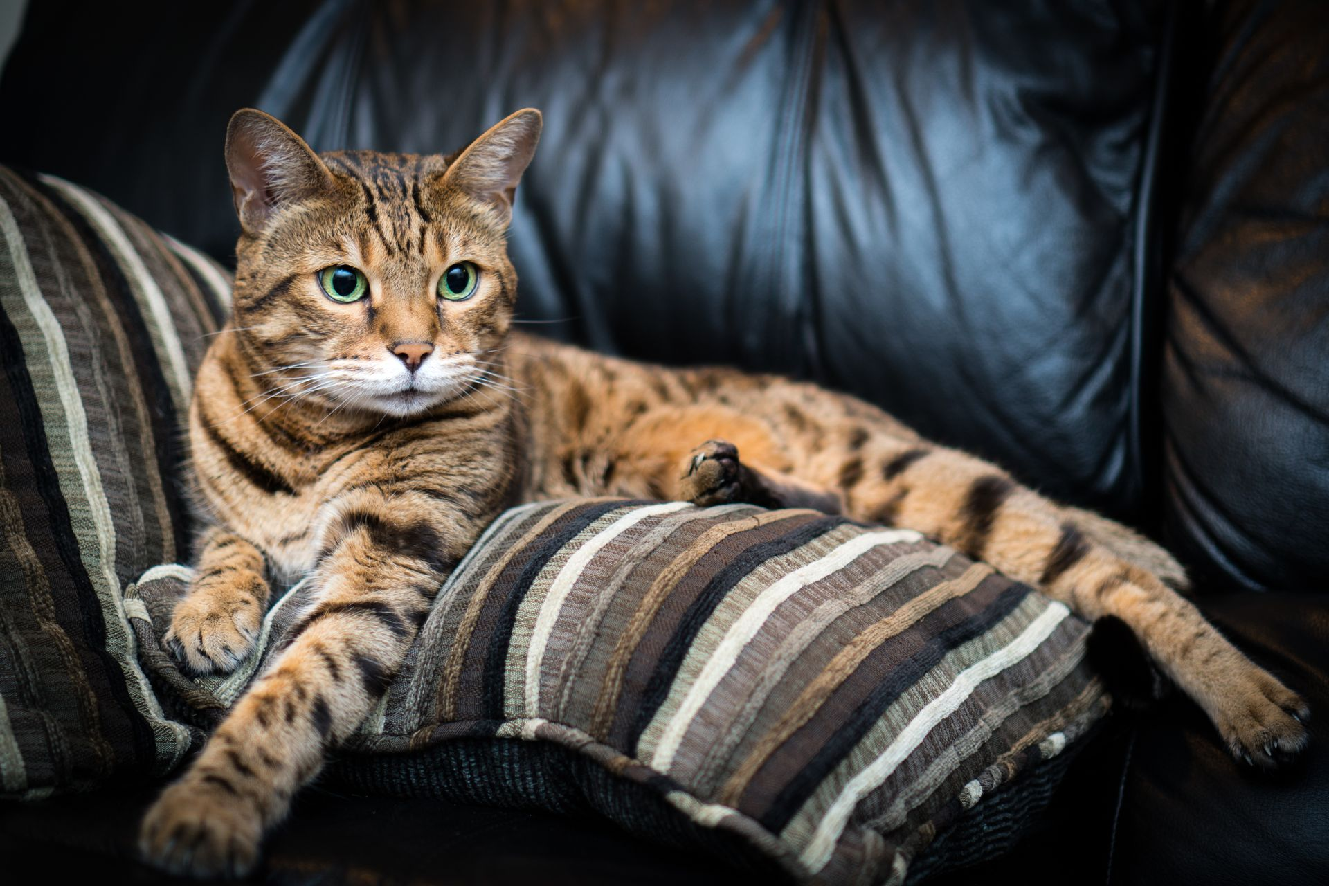 All About The Bengal Cat Personality