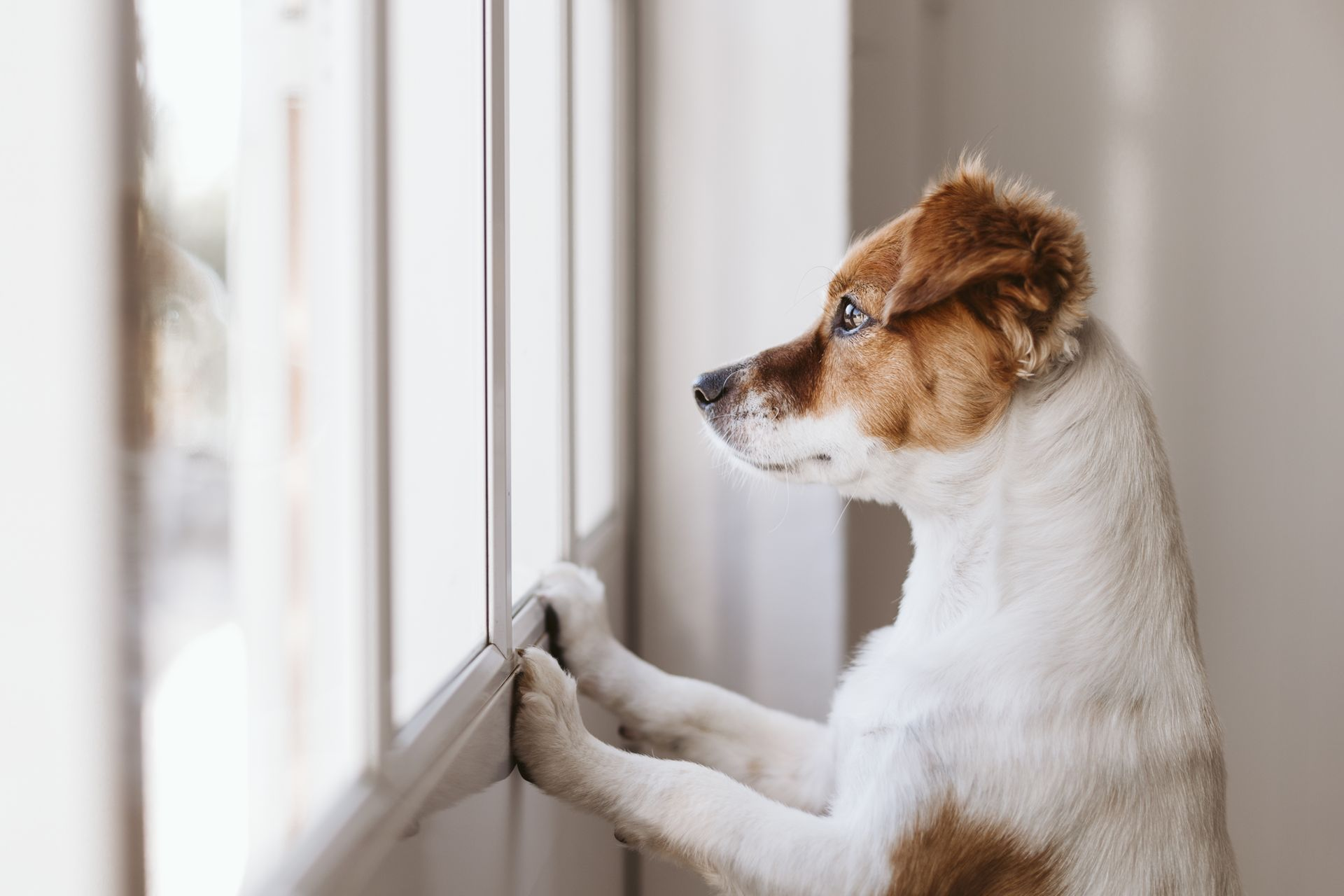 A brown and white dog stares out the window.