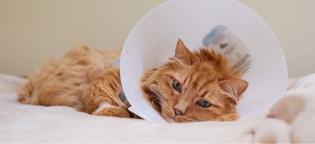 A cat in a surgical cone rests after an emergency procedure.