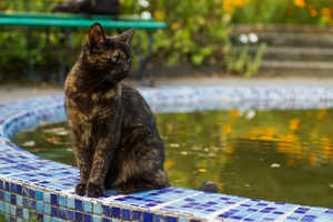 A tortoise-shell cat perched on the edge of a swimming pool.