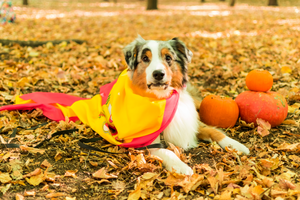 A Spanish dog, wearing Spain's flag and sitting among fall leaves