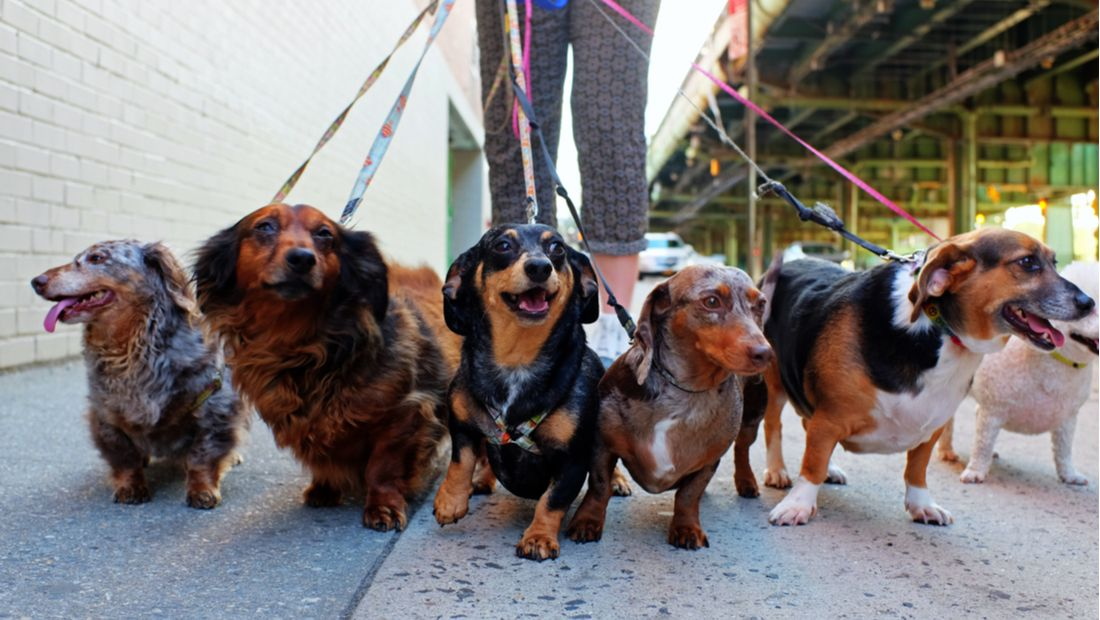 Four Dachshunds on a walk though the city.