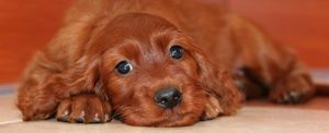An Irish Setter lying on their stomach and looking at the camera.