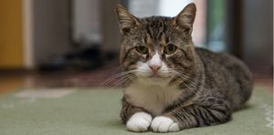 Senior cats demand affection through body language and vocalization.