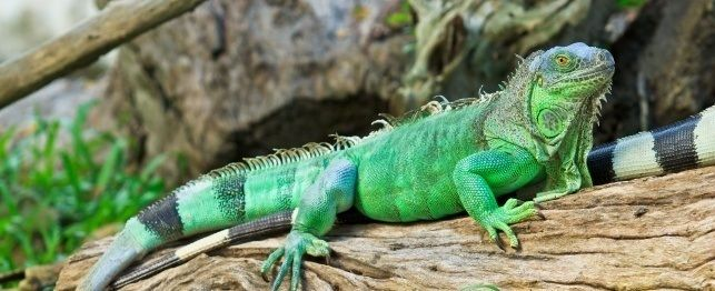 best foods to feed your iguana