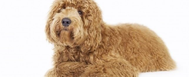 names for labradoodles