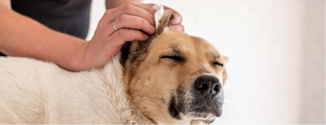 Man gently cleaning dog's ears.