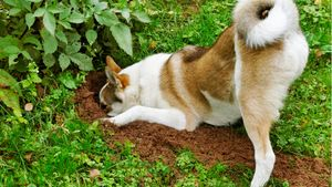 A dog buries its head in a hole.