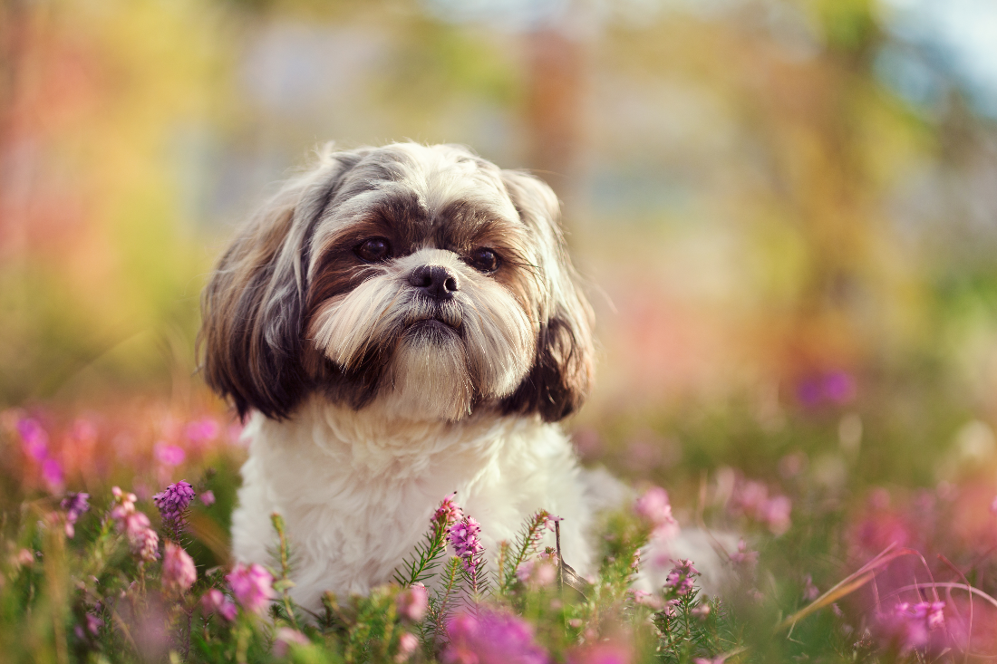 Shih Tzu Dog Names Cool Names For Shih Tzu Breed Dogs
