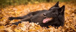 Choosing a Belgian Sheepdog