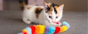 Calico plays with a toy.