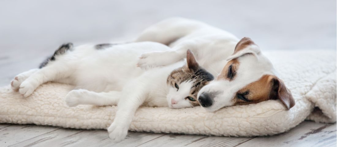 Pyruvate kinase deficiency can lead to lethargy and weakness in pets.