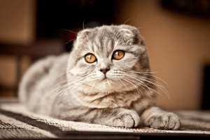 A Scottish Fold cat poses for the camera