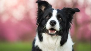 A black and white collie smiles for the camera.