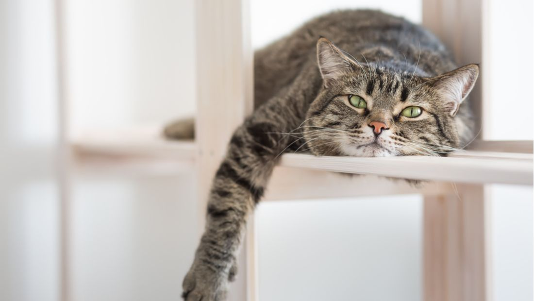 A lazy, grey cat relaxes at home with its paw dangling over a ledge.