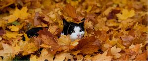 A cat plays in the fall leaves.
