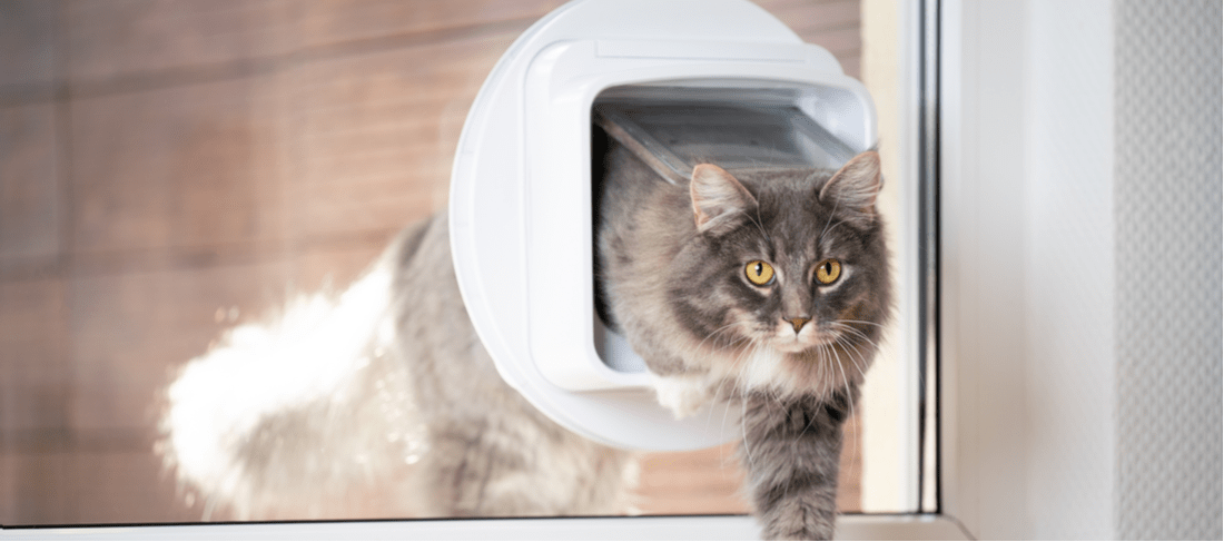 Maine Coon cat enters the house through a cat flap in the window.
