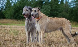 Two Irish Wolfhounds Standing in a Field