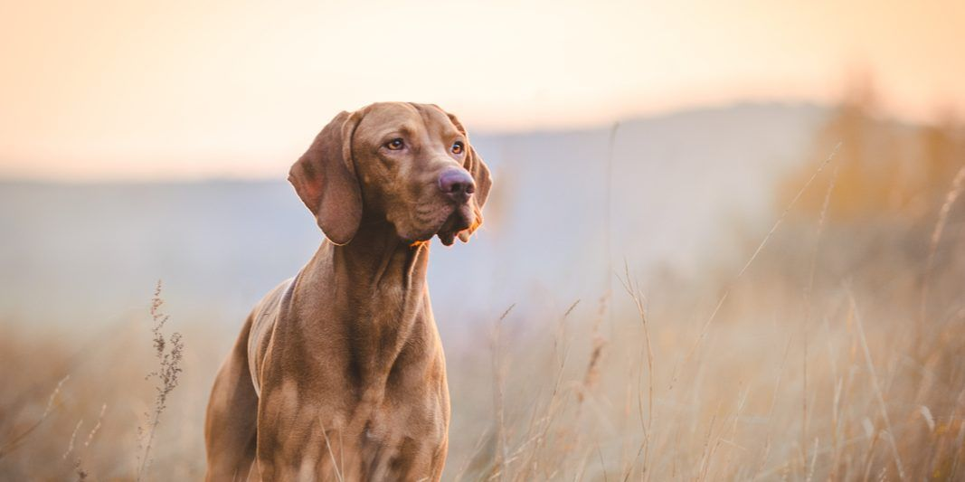 A brown pointer poses in a field of wheat.
