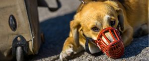 Dog in red muzzle.
