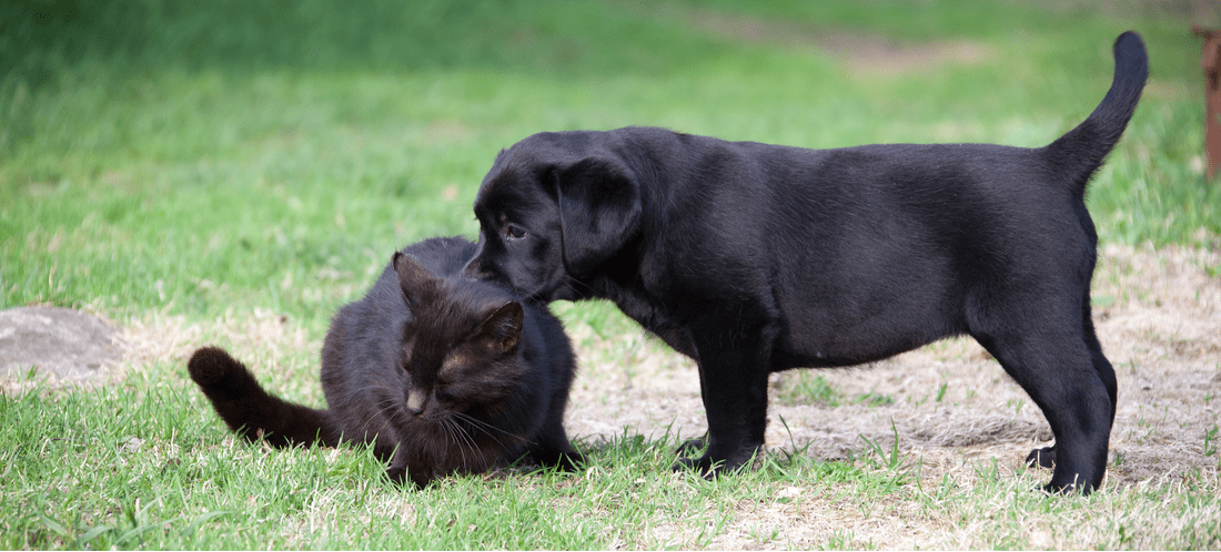 A black dog kisses a black cat in the grass.