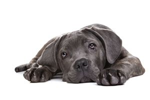 acute collapse in dogs