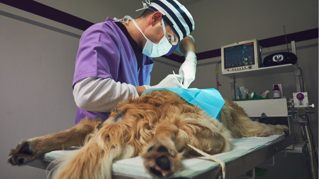 A veterinary surgeon operates on a dog.