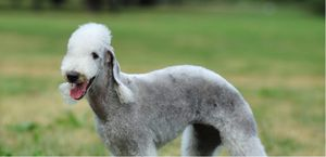 Look, behavior, and history of the Bedlington Terrier.
