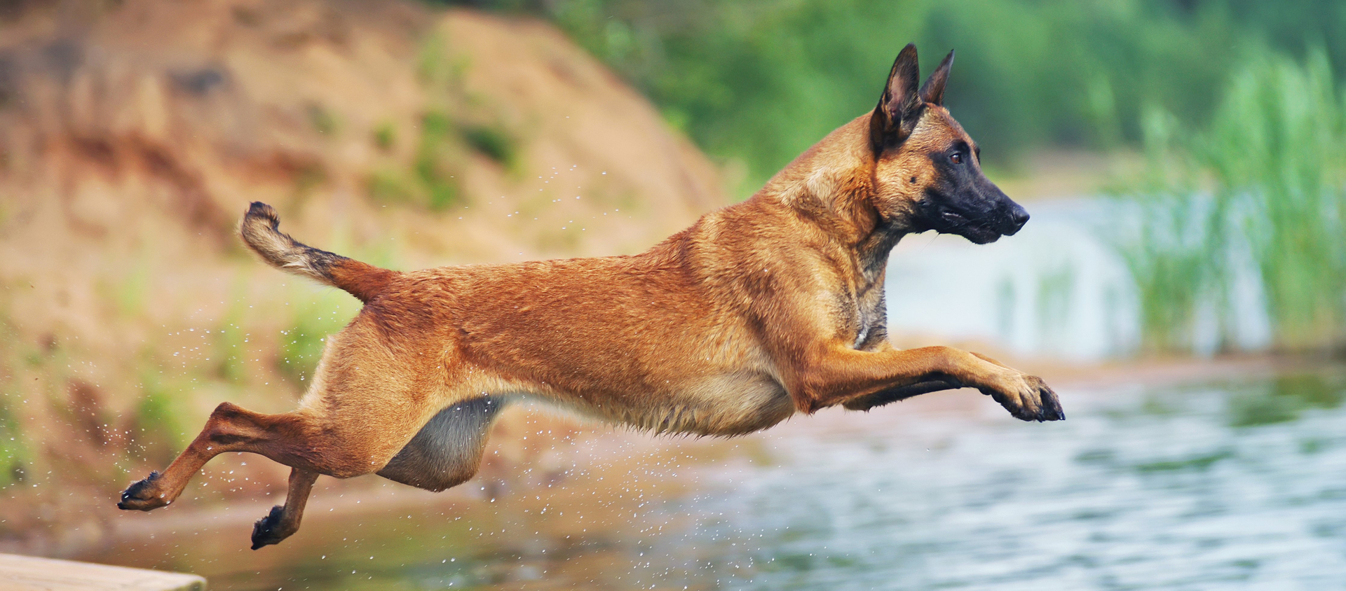 A Belgian Malinois takes a dip in a pond.
