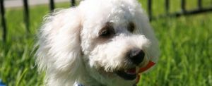 names for maltipoo dogs