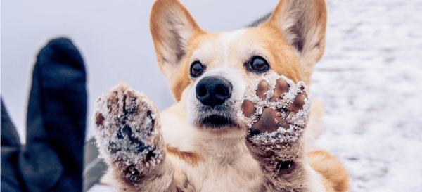 A dog show its snowy paws to its pet parent.