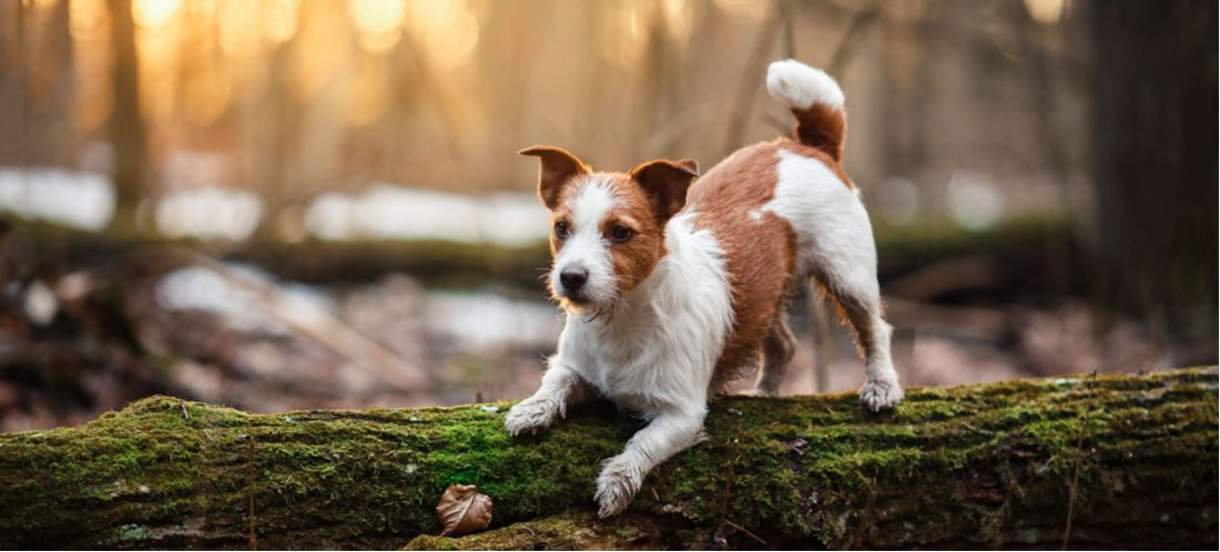 A dog pounces on a fallen tree.
