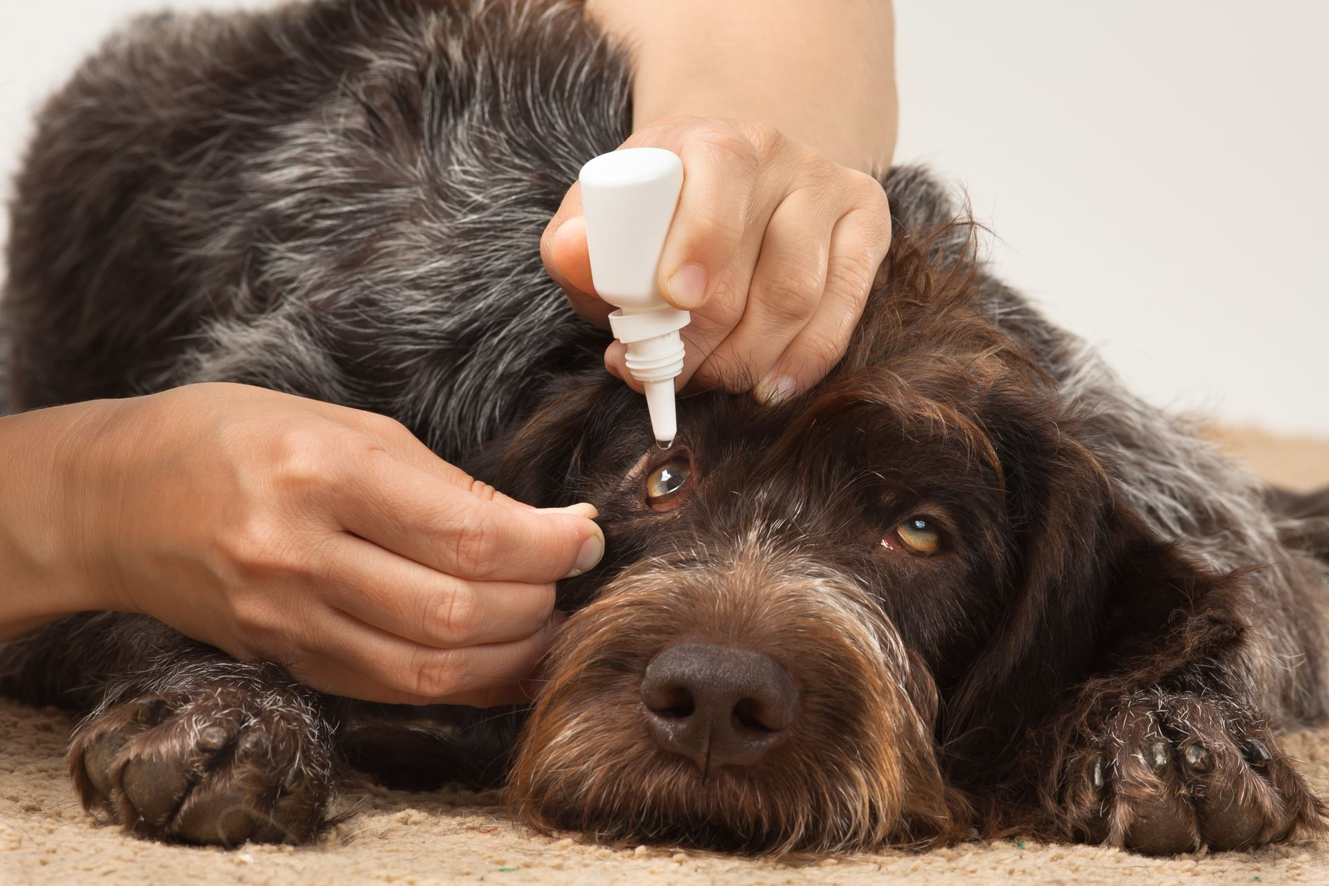 steroid eye medication for dogs