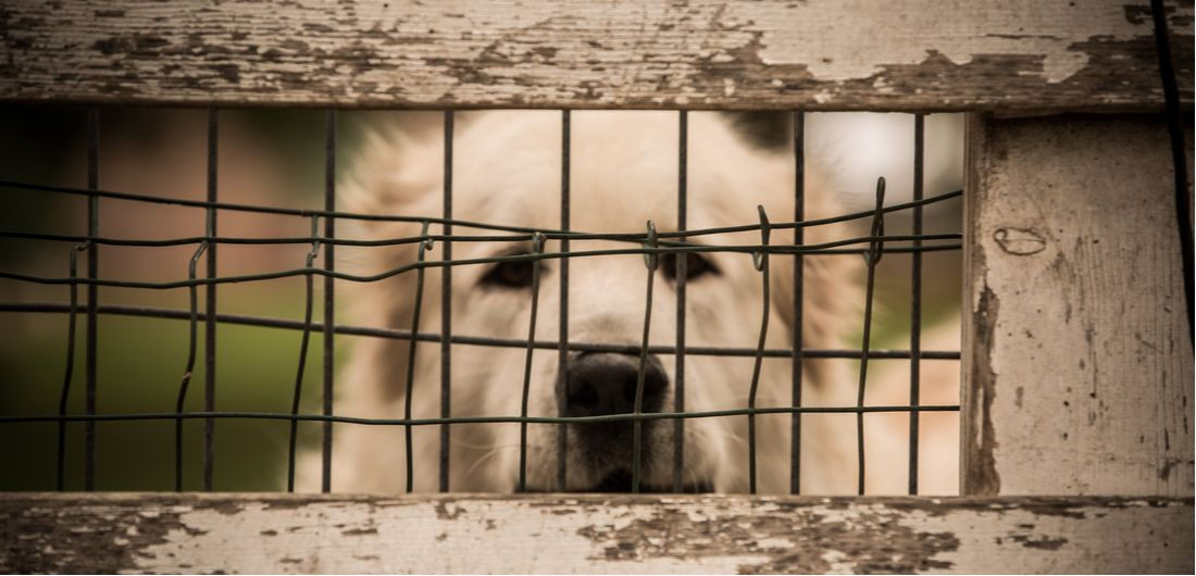 A dog sits quietly in a wire cage.