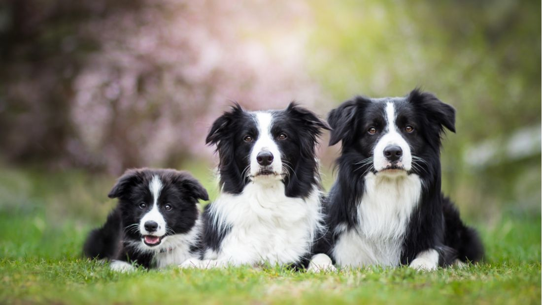 Three collies pose for the camera side-by-side.