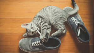 A cat chews on a shoelace.
